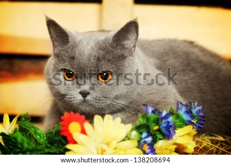 funny blue british shorthair cat on hayloft
