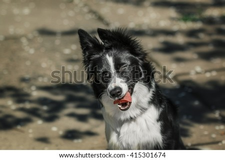 Funny Border collie dog  - stock photo