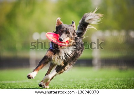 funny border collie dog brings the flying disc in jump - stock photo