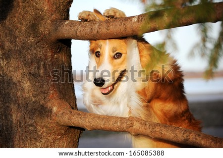 funny border collie dog puts its paws on a tree and looks at the camera - stock photo