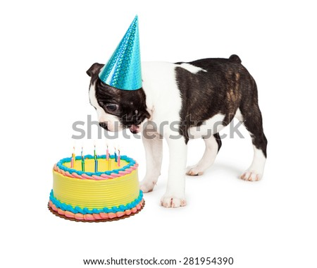 Funny Boston Terrier puppy with a happy and surprised expression looking down at a birthday cake with candles - stock photo
