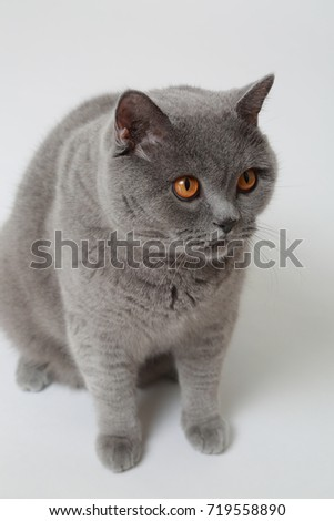 Funny British cat in studio