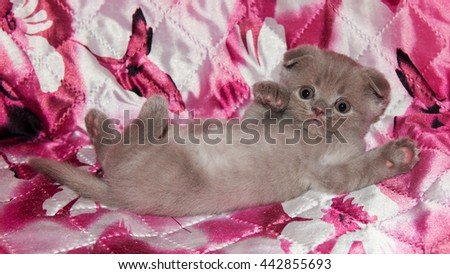Funny British kitten on a pink plaid. Pets, Scottish  breed. Portrait of beautiful small  cat at home.