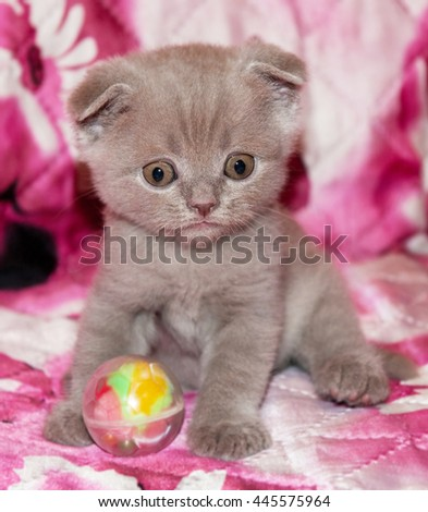 Funny British kitten on a pink plaid with a ball. Pets, Scottish  breed. portrait of beautiful small cat at home.