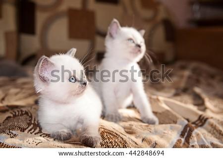 Funny British kitten. Pets, Scottish  breed. Portrait of beautiful small  cat at home.  - stock photo
