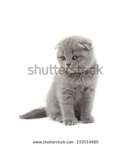 funny British kitten watching  on a white background isolated