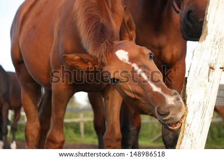 Funny brown foal gnawing on wooden fence - stock photo
