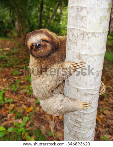 Funny brown-throated three-toed sloth climbing on tree trunk, Central America - stock photo