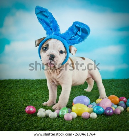 Funny Bulldog puppy wearing bunny ears and sticking out his tongue. - stock photo