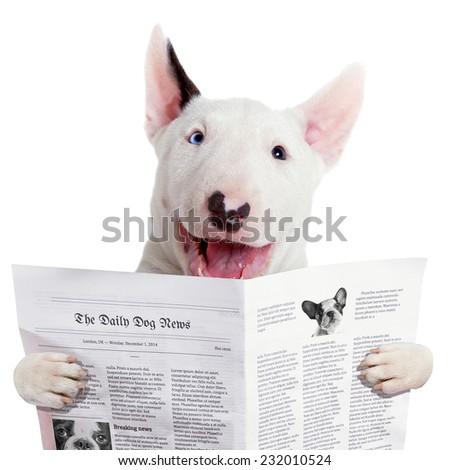 Funny bullterier reading newspaper over white - stock photo