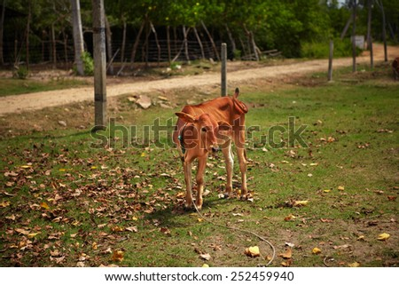 Funny calf raises ear and wags its tail - stock photo