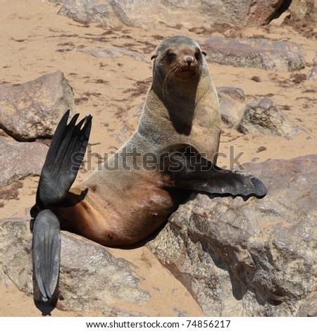funny Cape Fur Seals on Cape Cross,Namibia,Africa - stock photo