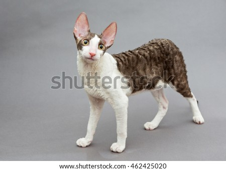 Funny cat Cornish Rex on gray background