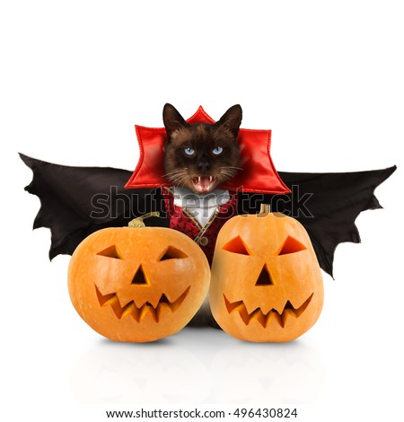 Funny cat is wearing a suit of vampire. Siamese cat is wearing a suit of vampire.