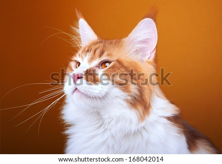 Funny cat Maine Coon is isolated on a brown background. - stock photo