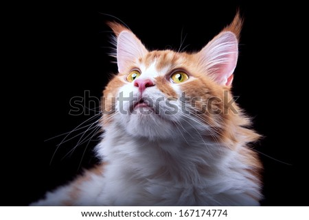 Funny cat Maine Coon is isolatedon a black background. - stock photo