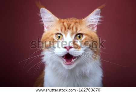 Funny cat Maine Coon is isolatedon a vinous background. - stock photo