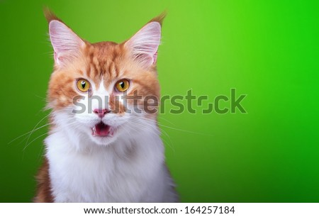 Funny cat Maine Coon is isolatedon on a green background. - stock photo