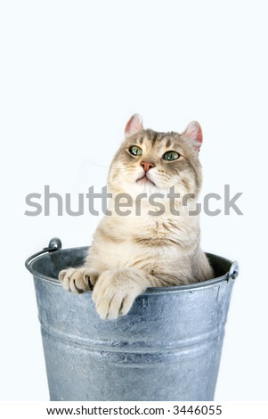 Funny cat with big feet inside galvanized bucket
