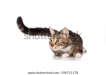 Funny cat with long tail - stock photo