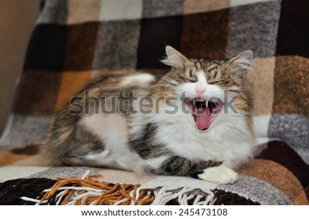 Funny cat yawning mouth full - stock photo