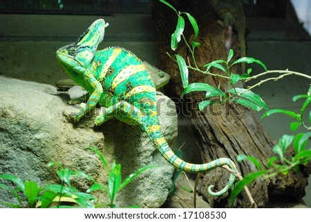 Funny chameleon - stock photo