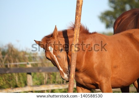 Funny chestnut foal playing with wooden fence in summer - stock photo