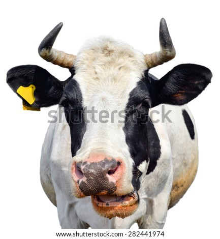 Funny chewing cow isolated on white/Cow/Cow isolated on white - stock photo