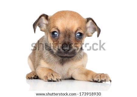 Funny Chihuahua and Toy Terrier mixed-breed puppy on white background