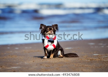 funny chihuahua dog holding a life buoy on the beach