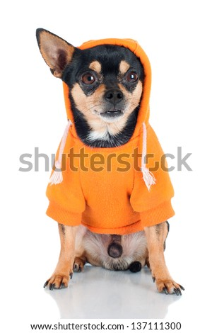 funny chihuahua dog in a hoodie - stock photo