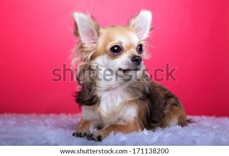 Funny chihuahua dog is isolated on a pink background.