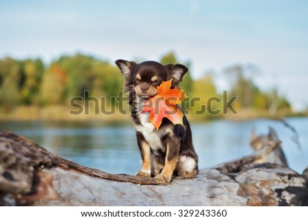 funny chihuahua puppy holding a fallen leaf on mouth - stock photo