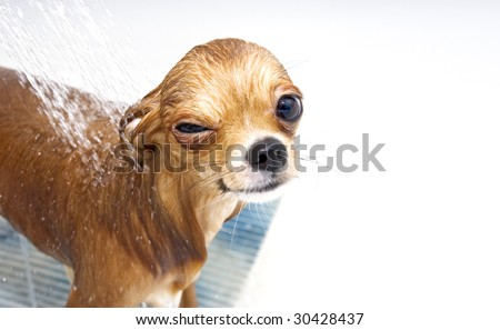 funny chihuahua taking  a shower - stock photo
