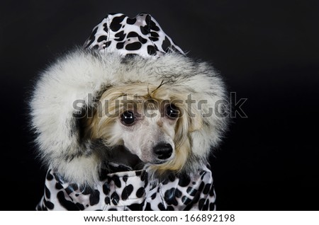 Funny Chinese Crested dog (Powderpuff variety, puppy) wearing a spotted winter costume (on a black background) - stock photo