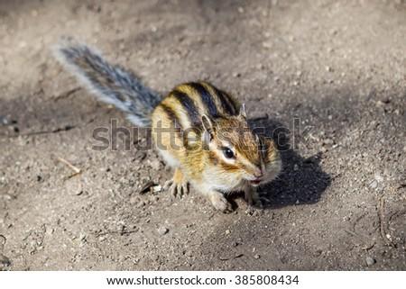 Funny Chipmunk - stock photo