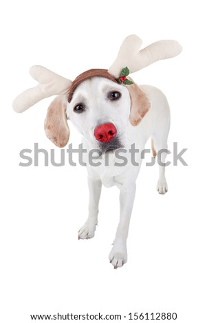 Funny Christmas rudolph reindeer dog - stock photo