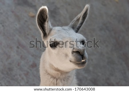 Funny close-up portrait of llama in zoo - stock photo