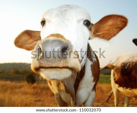 funny closeup of a cow on farm - stock photo
