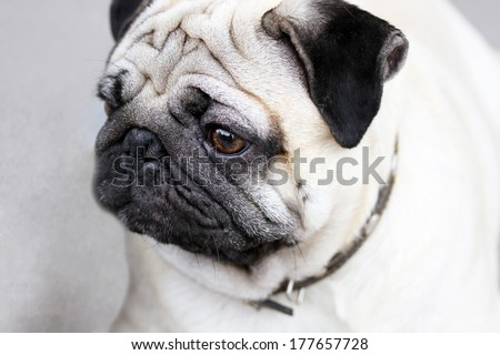 Funny closeup of a cute mops portrait - stock photo