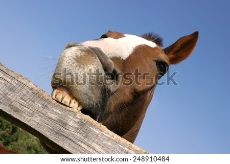 Funny closeup of a purebred mare looking at the camera summer pasture as chewing the corral fence - stock photo