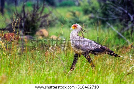 Funny Color Animal Portrait Of A Single Secretary Bird In South Africa Natural Environment