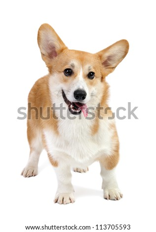 Funny corgi pembroke in studio in front of a white background