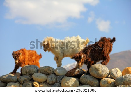Funny country scene - three young goats (red, white and brown) play and jump on a stone wall against the background of a blue sky in Zanskar valley, Himachal Pradesh, Northern India, Central Asia - stock photo