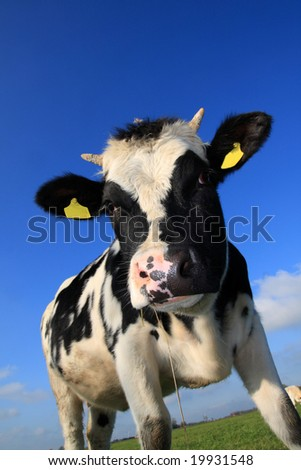 funny cow, looking down at the camera - stock photo