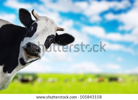 Funny cow looking to a camera with green rural meadow on the background - stock photo