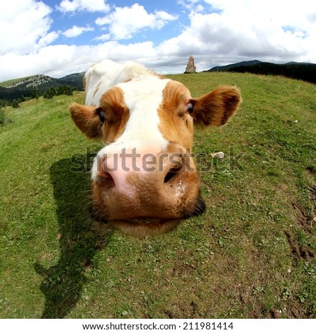 funny cow muzzle photographed with fisheye lens from very close - stock photo