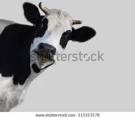 Funny cow on gray background (18%) - stock photo