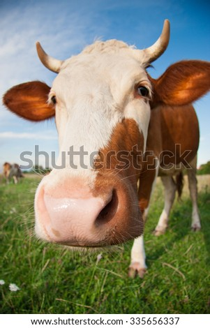 funny cow on pasture in summer