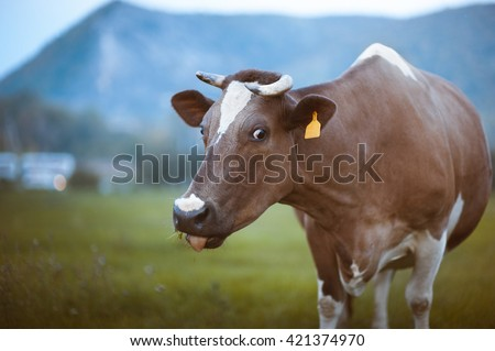 Funny cow with a tongue out - stock photo